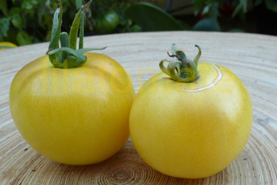 Tomate 'Talent, hellgelb' (Arbeitstitel) Saatgut