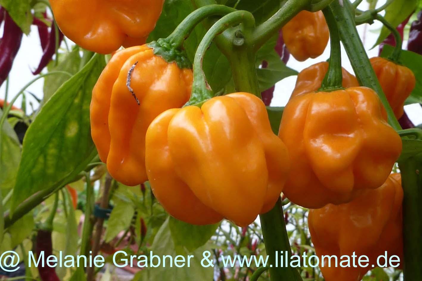Chili 'Aji Dulce Amarillo' (milder Habanerotyp)