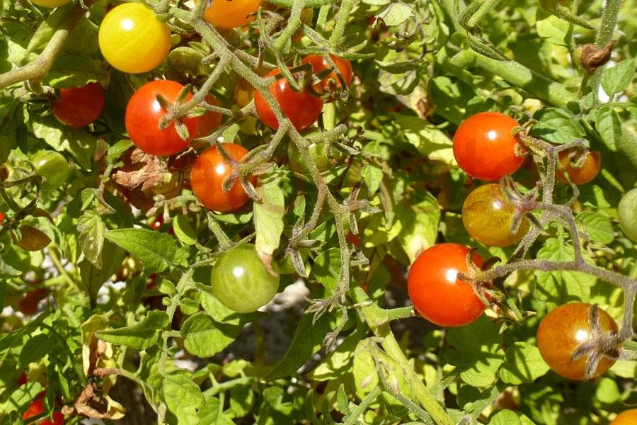 Tomate 'Johannisbeertomate, rot' Saatgut