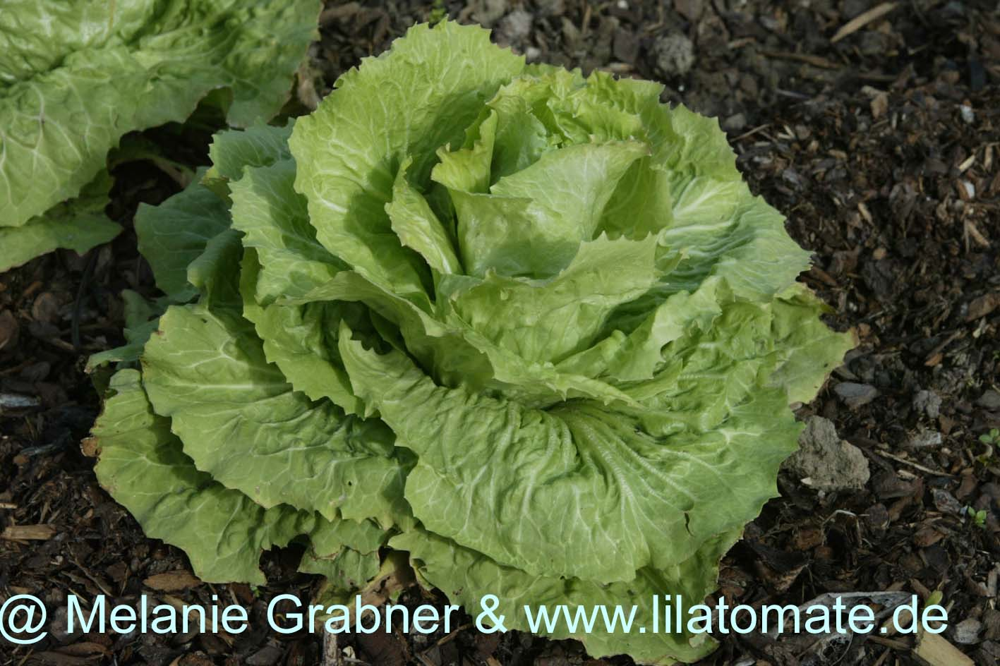 Salat Sortenmischung 'Kopfsalat' Saatgut