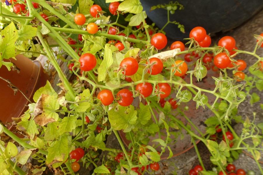 Tomate 'Argentinische Wildtomate'
