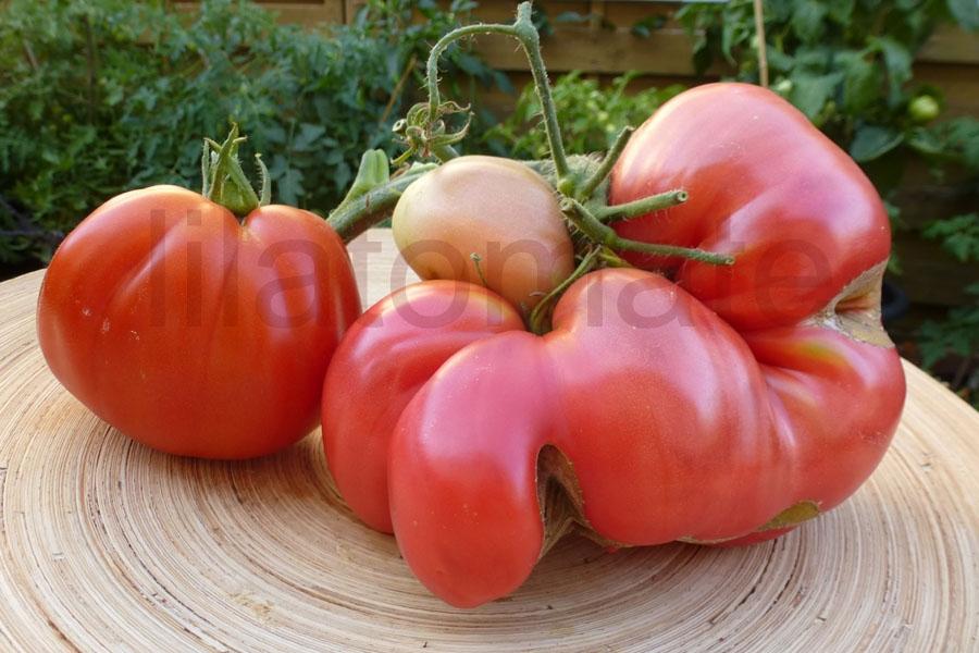 Tomate Sortenmischung 'Ochsenherztomaten' Saatgut