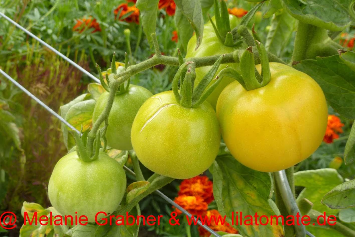 Tomate 'Weißer Pfirsich'