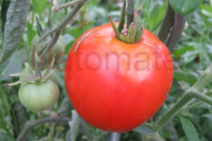 Tomate 'Sonja' Saatgut