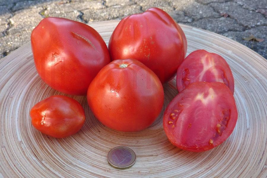 Tomate 'Liguria' Saatgut
