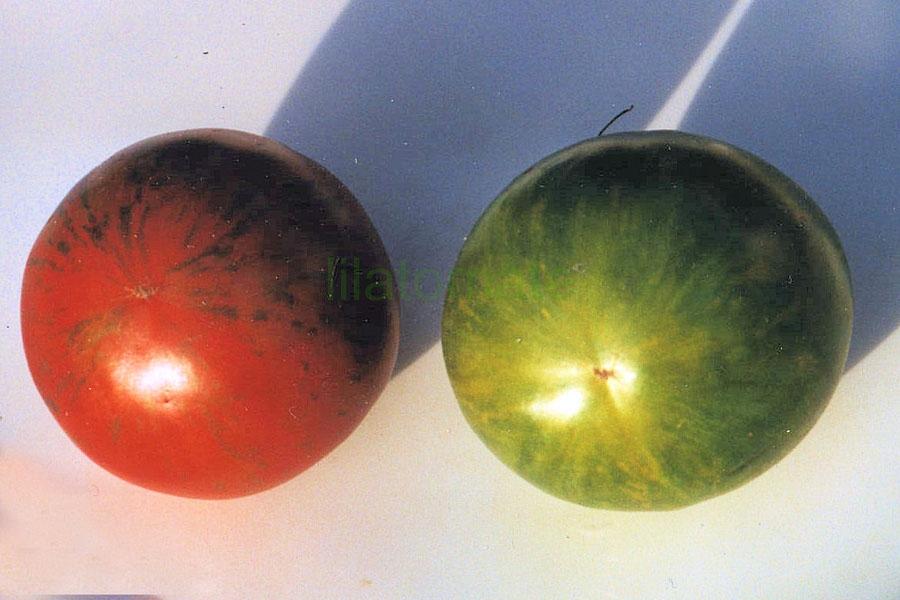 Tomate 'Grünes Zebra'   ('Green Zebra')