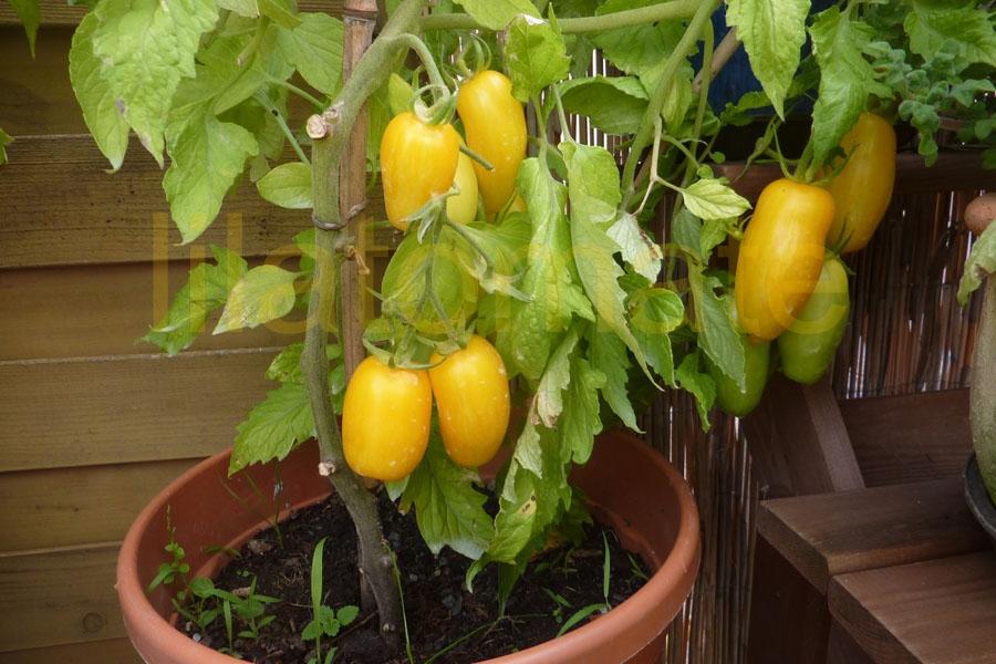 Tomate 'Banana Legs' Saatgut
