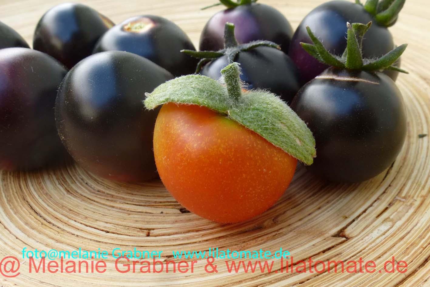 Tomate 'Helsing Junctions Blue' Saatgut