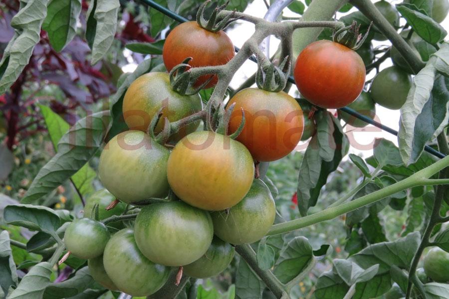 Tomate 'Brownberry' Saatgut
