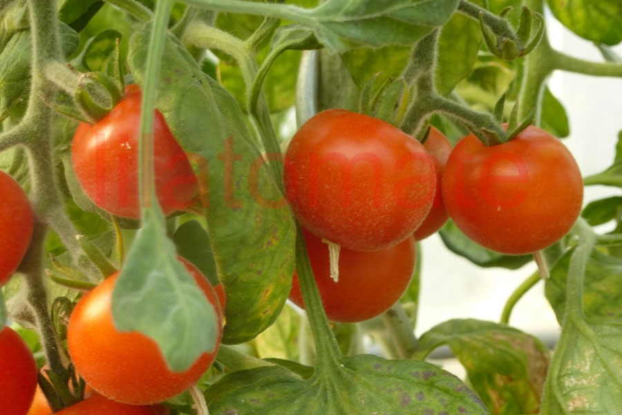 Tomate 'Roter Pfirsich' Saatgut
