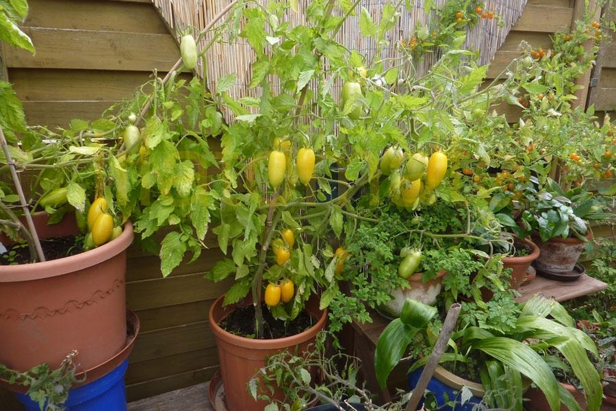 Tomate Sortenmischung 'Balkontomaten' ('Topftomate') Saatgut