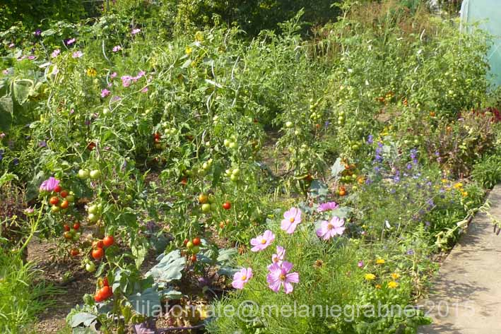 Tomate Sortenmischung  'Freilandtomaten'  Saatgut
