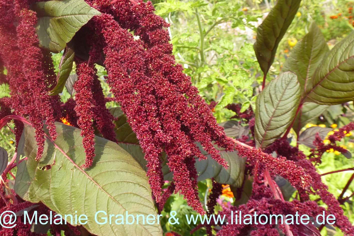 Blume Roter Amaranth Saatgut