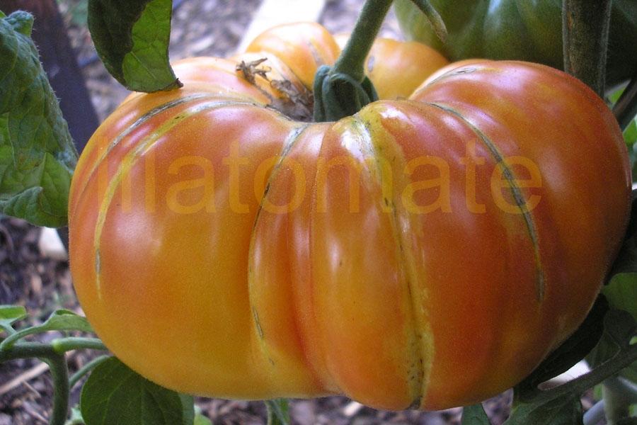 Tomate 'Ananastomate'