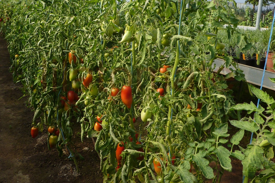 Tomate 'Andenhorn, rot'