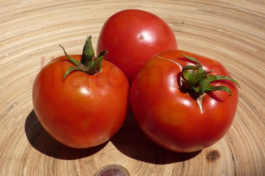 Tomate 'Kasachstan Rosa Fleischtomate'  (Arbeitstitel) Saatgut