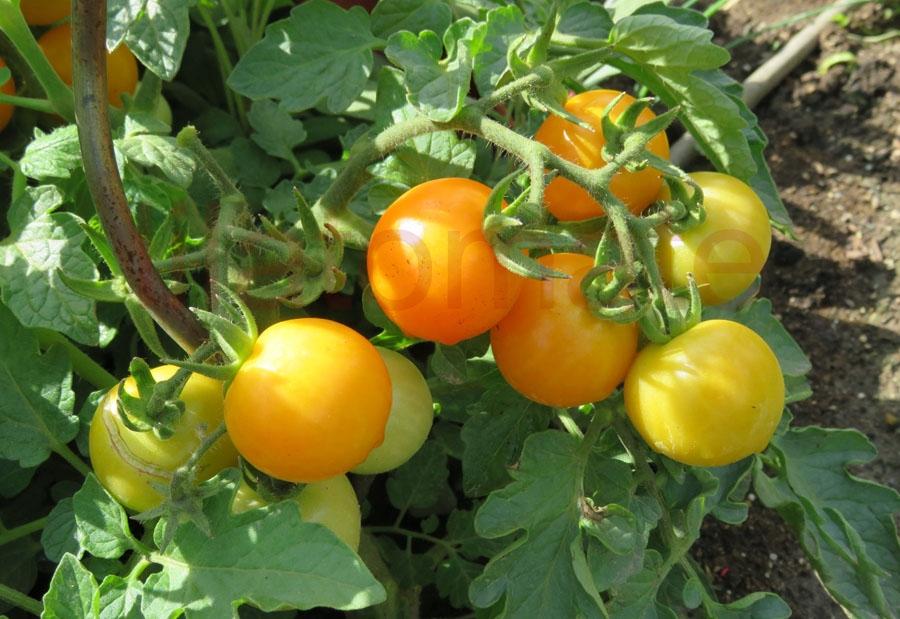 Tomate 'Alaska, gelb'