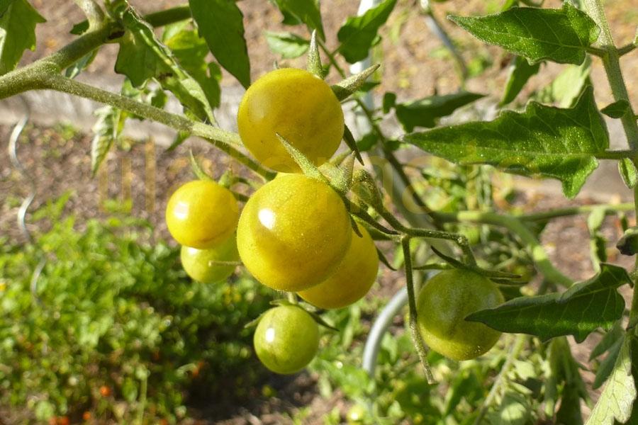 Tomate 'Wildtomate gelb' (Arbeitstitel) Saatgut