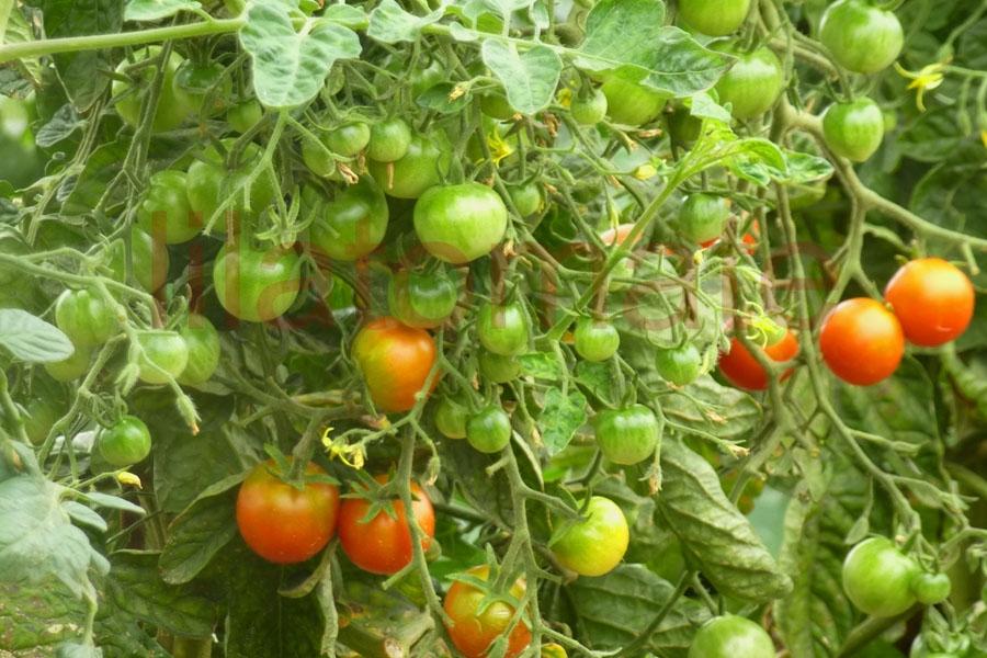 Tomate 'Besser' Saatgut