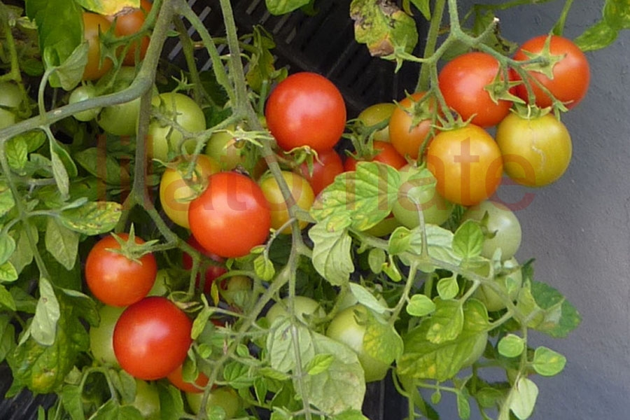Tomate 'Huberts Beste' Saatgut