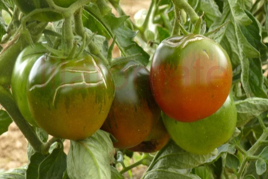 Tomate 'De Berao, schwarz'