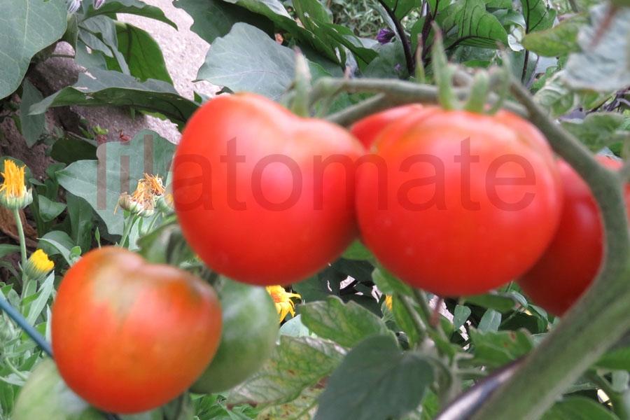 Tomate 'Lukkulus'