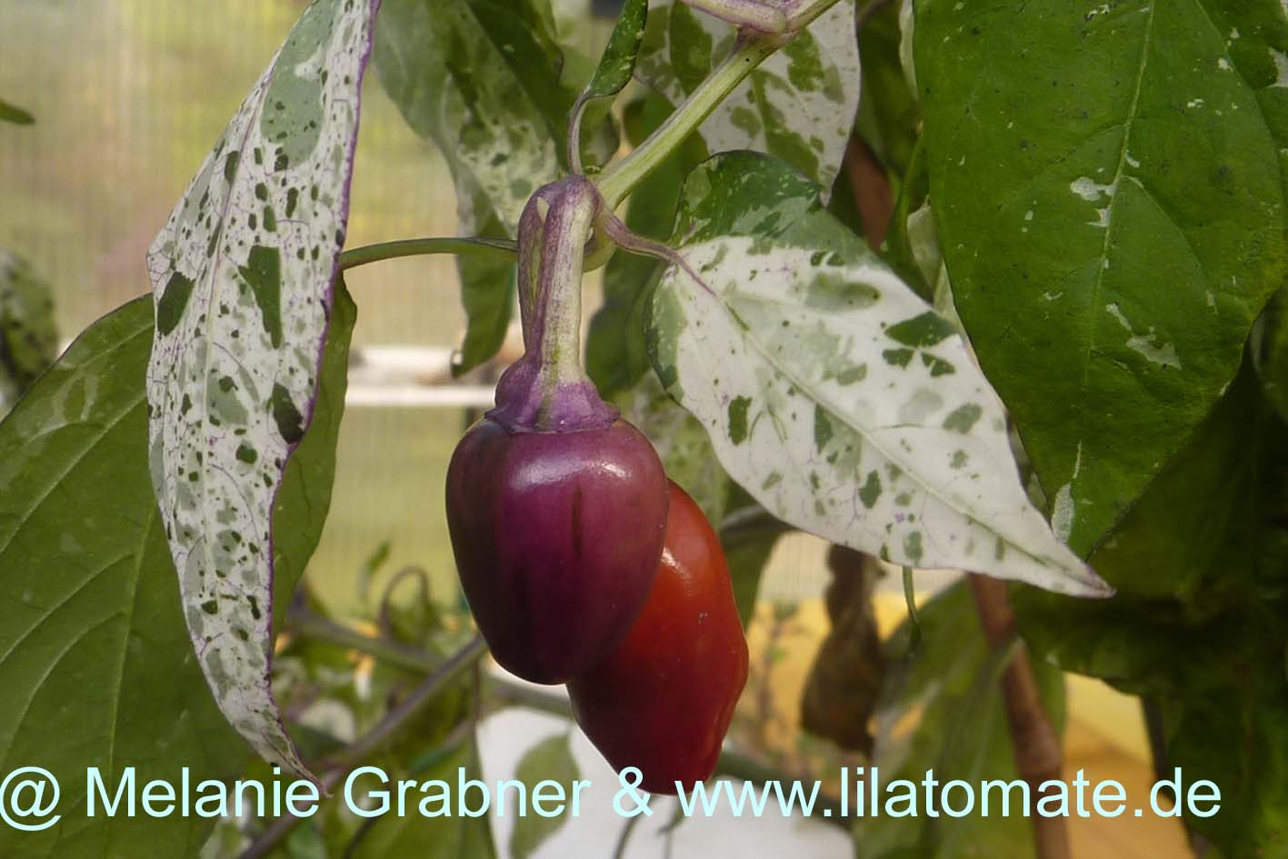 Chili 'Variegata', 'Purple tiger' Saatgut