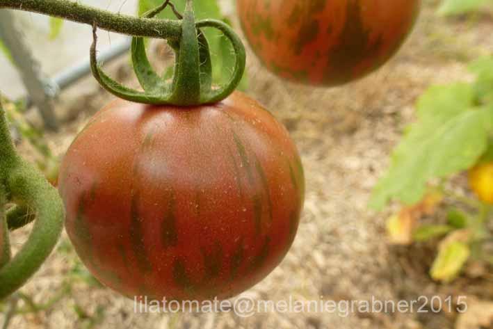 Tomate 'Pink Bumble Bee' Saatgut