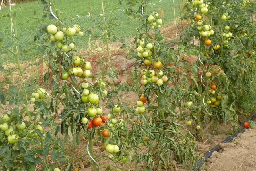 Tomate 'Homosa' Saatgut
