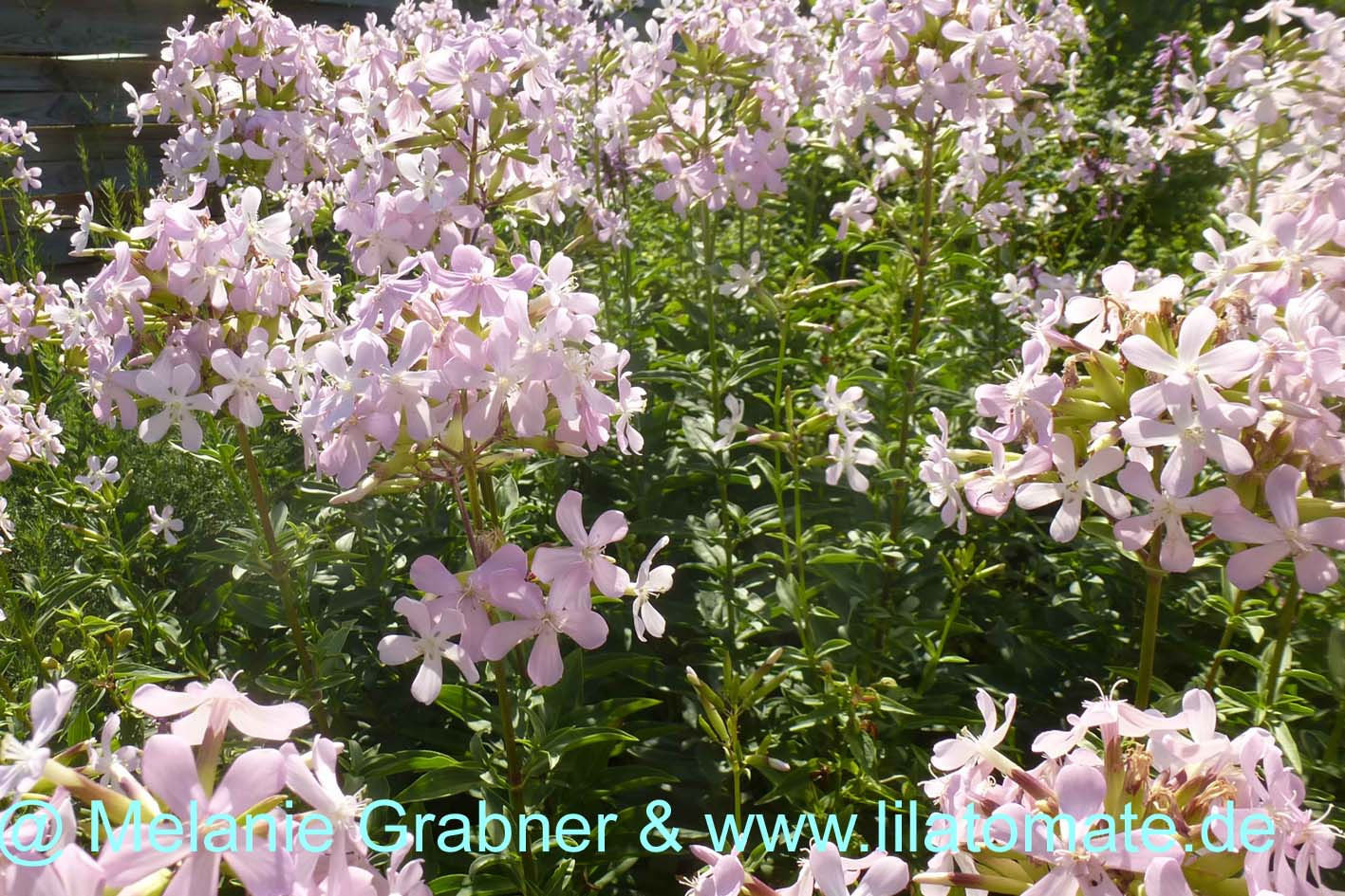 Blume Seifenkraut Saponarie off. Staude Saatgut