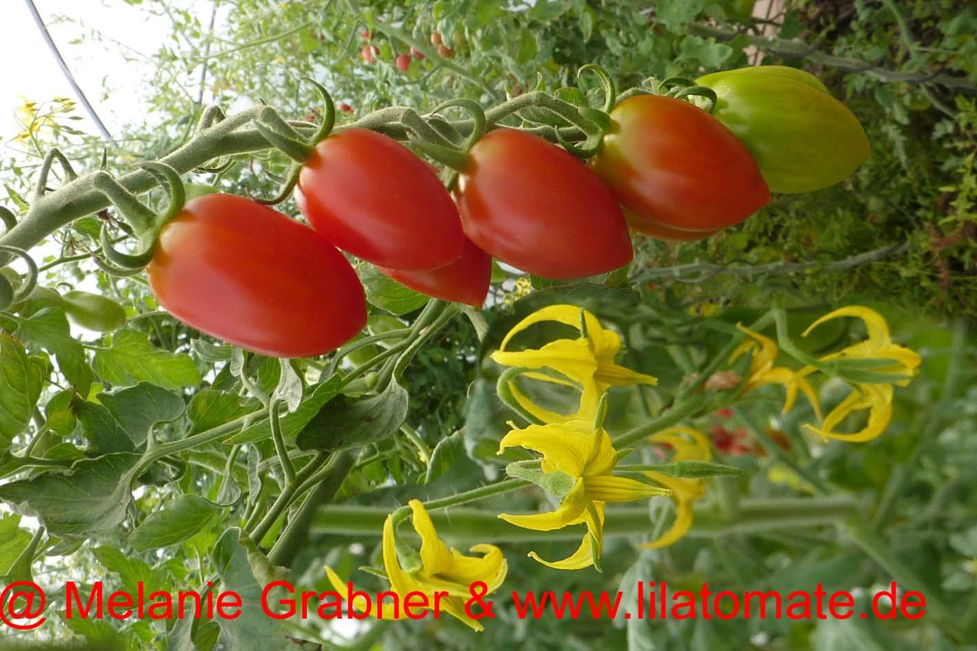 Tomate 'Chinesische Datteltomate, Chinesische Cocktailtomate' (Arbeitstitel) Saatgut