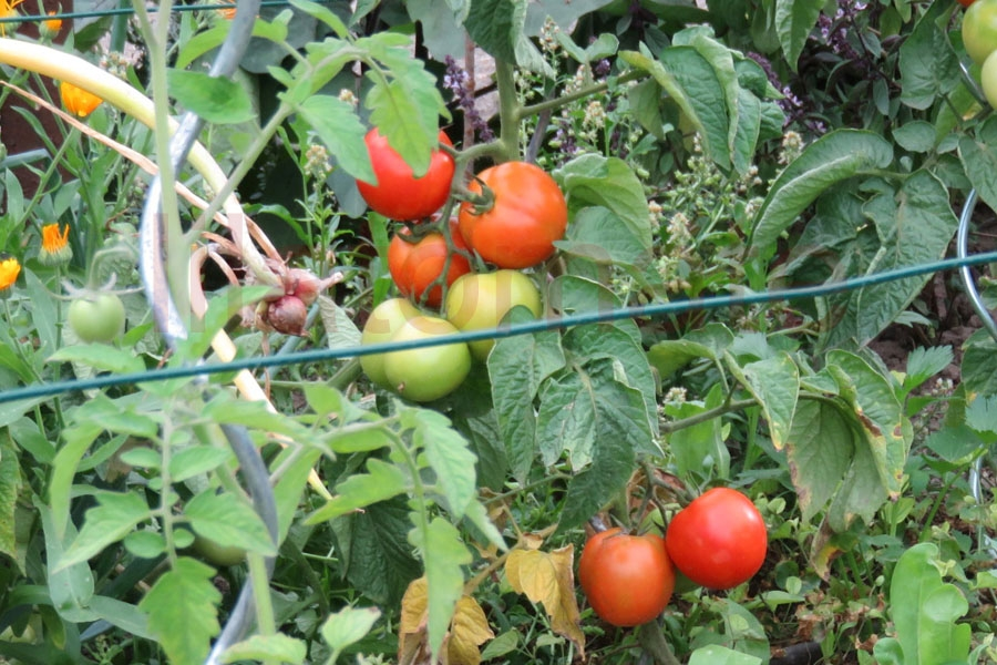 Tomate 'Apullien'