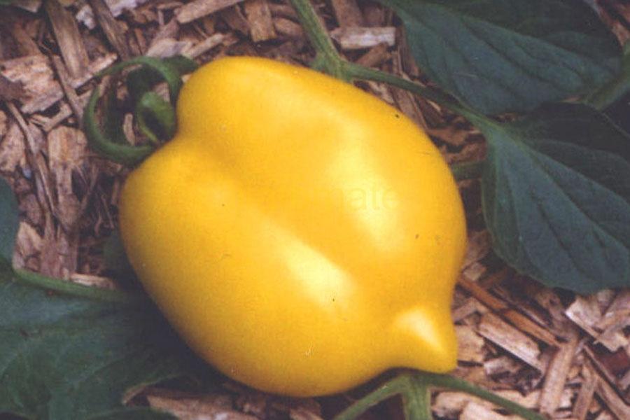 Tomate 'Zitronella' Saatgut