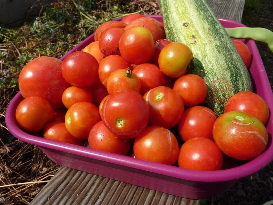 Tomate 'Subarctic Plenty'