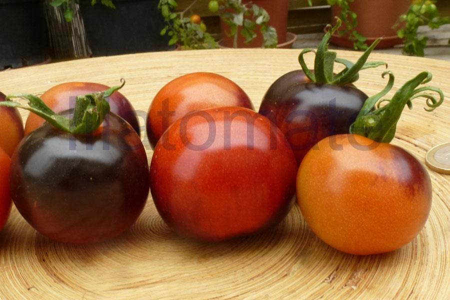 Tomate 'Indigo Rose, rund, flachrund' Saatgut