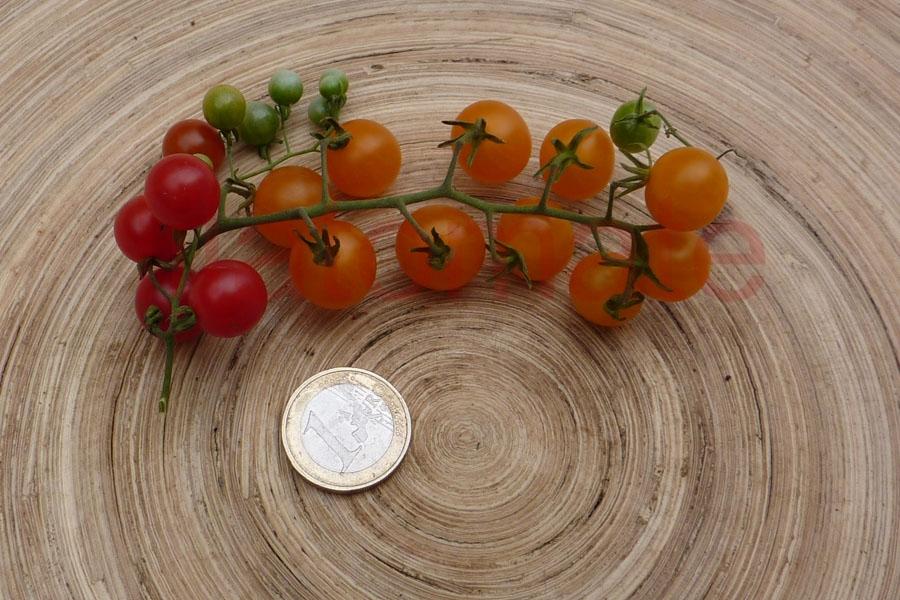 Tomate 'Johannisbeertomate gelb und/oder  rot' Sortenmischung Saatgut