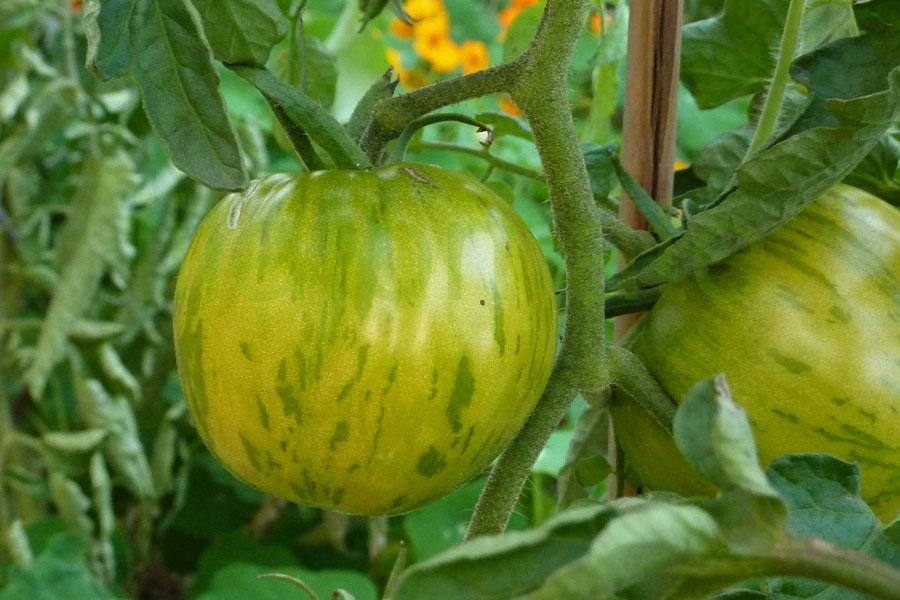 Tomate 'Grün gelb gestreift flachrund' Arbeitstitel