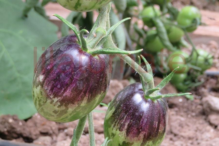 Tomate 'Purple Dragon' Saatgut
