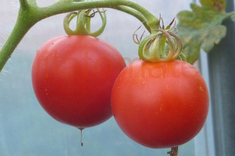 Tomate 'Pünktchen'