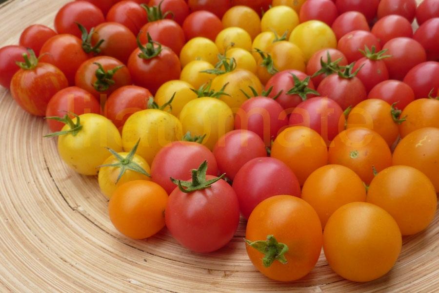 Tomate Sortenmischung 'Tolle Topftomaten' Saatgut