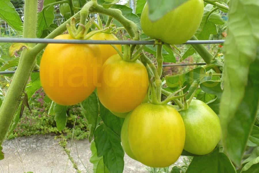 Tomate 'Cerise gelb' Saatgut