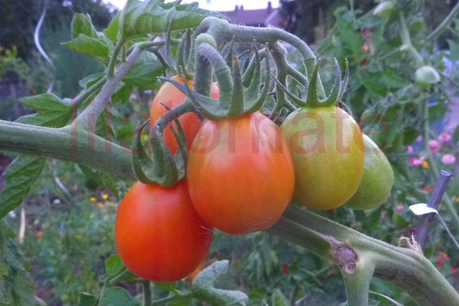 Tomate 'Baselbieter Röteli' Saatgut