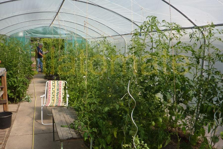 Tomate Sortenmischung 'Gewächshaustomaten' Saatgut