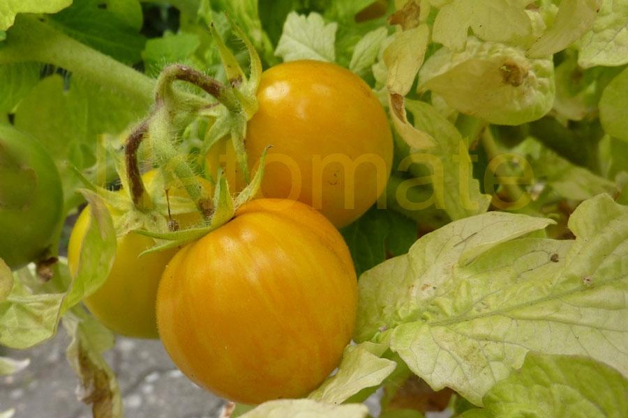 Tomate 'Tigerette, gelb' Saatgut