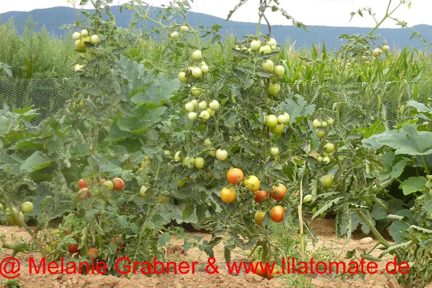 Tomate 'Tolle Rote Runde' (Arbeitstitel) Saatgut