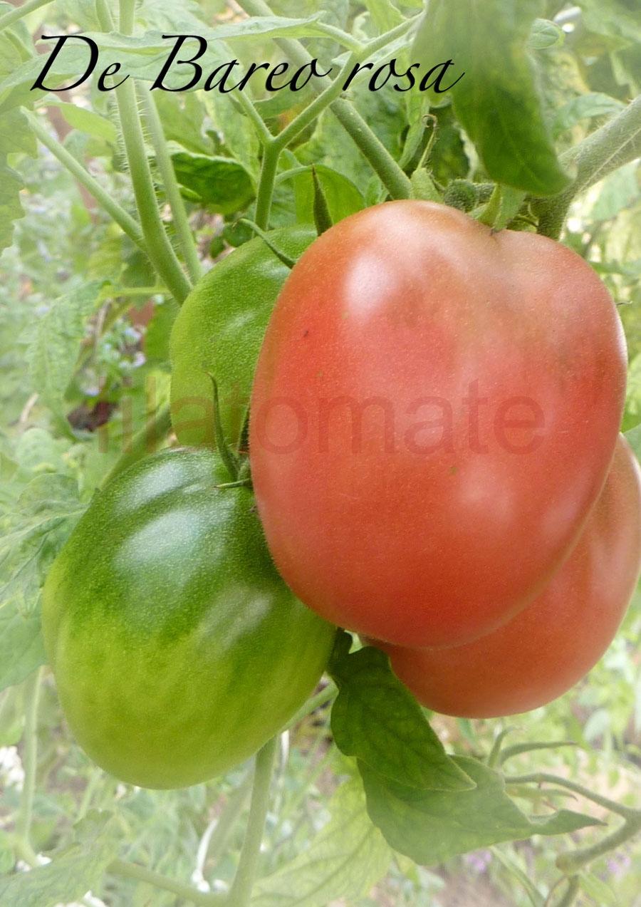 Tomate 'De Berao, rosa' Saatgut