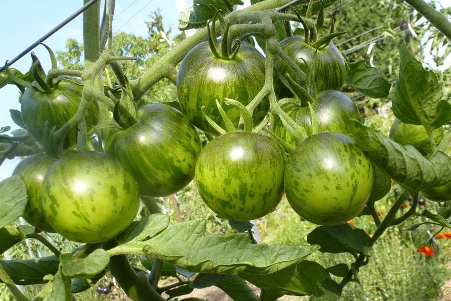 Tomate Sortenmischung 'Grüne Tomaten' Saatgut